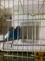 Satılık muhabbet kuşu