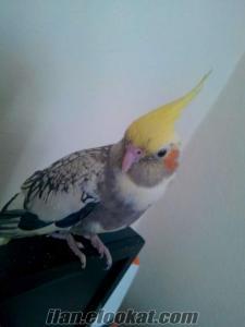 kütahyadan uygun fiyatlı erkek sultan papağanı arıyorum