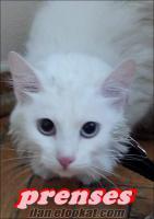ankara kedisi dişiye erkek ankara kedisi veya van kedisi aranıyor