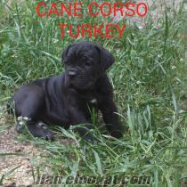 satılık cane corso yavrular SAFKAN