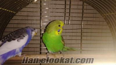 Eş muhabbet kuşlarım kafes ve aksesuarlarıyla beraber, Konya