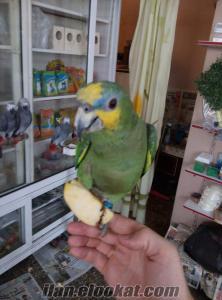 Satılık yavru amazon papağanı