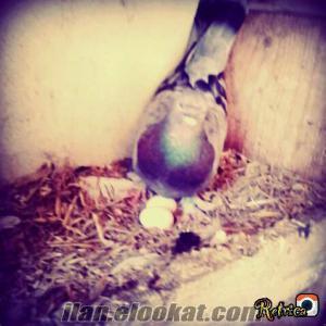 çatalcada sahibinden satılık güvercinler