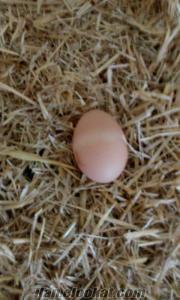 Ankara Kazan organik yumurta