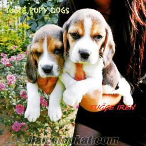 beagle yavrularimiz Bursada