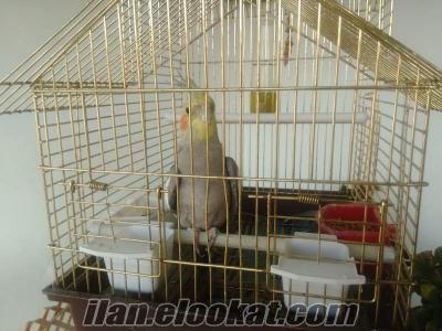Sultan papağanı erkek 8 aylık