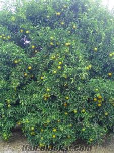 satılık mandalin bahçesi