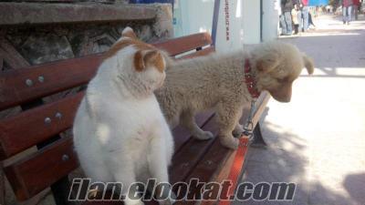 Fino ve sibirya kurdu kırması 2 aylık ela göz.