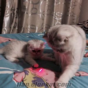 Bursada satilik scotish fold kedi yavrulari