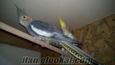 Çanakkale sultan papağanı