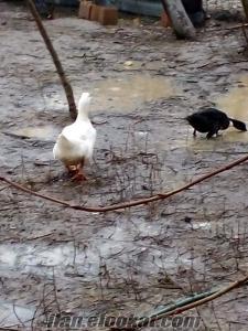 Silivride satılık ördek