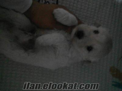 mersinde sahibinden satılık terrier yavrular..