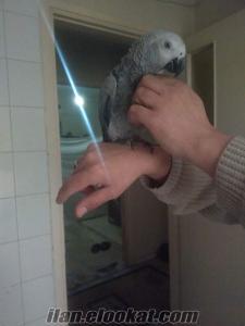 Yavru jako papağanı