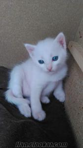 1 aylik mavi gozlu ankara kediler 3 adet orjinal cok guzeller