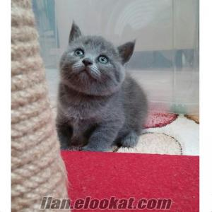 2 Disi Blue British Shorthair
