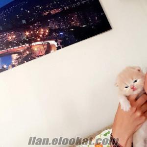 Iran kedisi ..sampanya rengi dişi.izmir.