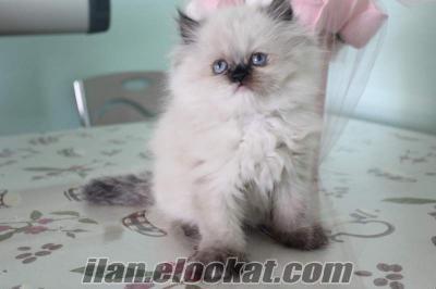 saf iran kedisi persian