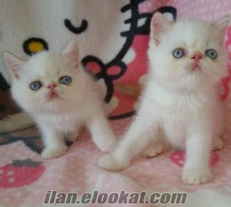 Red Point Exotic Shorthair Yavru