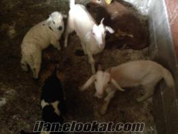 saanen süt keçileri