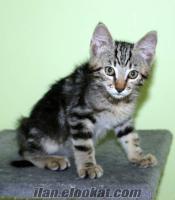 ücretsiz kedi yavrusu /istanbul-bostancı