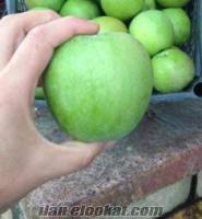 Samsun elma satışı 600 ton grany smith. Dalından toplanıp kasalarda teslimat.