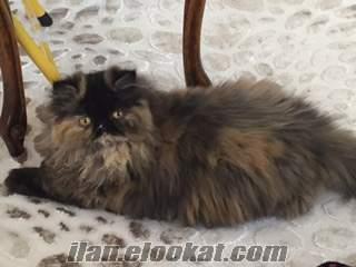 Sahibinden satılık safkan sıfır burun iran persian dişi kedi