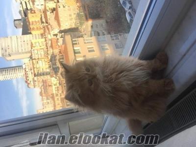 İstanbul Bayrampaşa iran kedisi