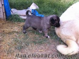 1 Aylık Safkan Kangal Yavruları