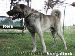 Kangal yavruları---Bursa --MADIMAK KANGAL ÇİFTLİĞİMİZDE