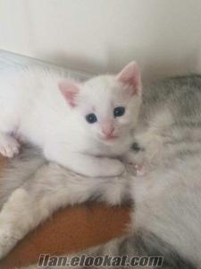 Antalya Ahatlı ankara kedisi