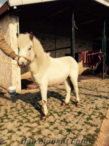 İstanbul pony atı