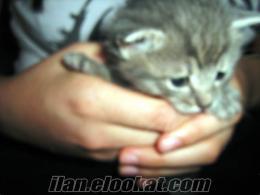 konyada 1 aylık sevimli kediciklerden ücretsiz evlat edindiriyoruz
