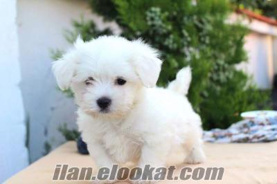maltes terrier Kadıköy