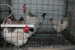 Light Sussex ırkı Horoz, Tavuk, Civcic Nur Üretim *