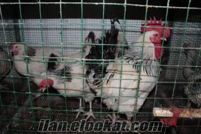 Light Sussex ırkı Horoz, Tavuk, Civcic Nur Üretim