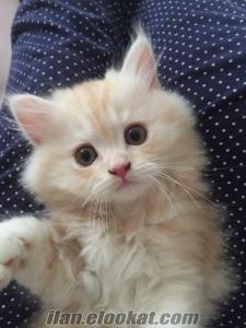 İstanbul Safkan Chinchilla (Sarı - Krem) Erkek Kedi Yavrusu