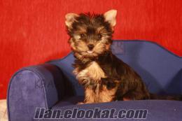 K9 Avrupa Evcil Hayvan Çiftliğinden Orijinal Satılık Yorkshire Terrier Yavru