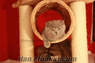 K9 AVRUPADAN SATILIK SCOTTISH FOLD