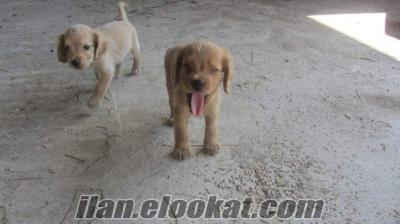 AYDINDA üreticiden spaniel coocker.maltiz terrier.chiauwaua yavru