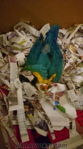 satılık bebek ara papağanı