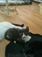 2, 5 aylik sirin yavru kediler
