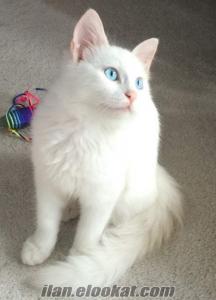 Pamukşekeri gibi beyaz Ankara kedisine yuva