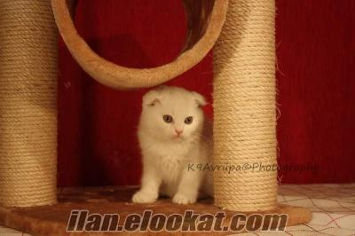 K9 AVRUPADAN SATILIK PEKINES!!!!SCOTTISH FOLD..