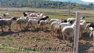 Satılık DORPER koyun koç toklu kuzu