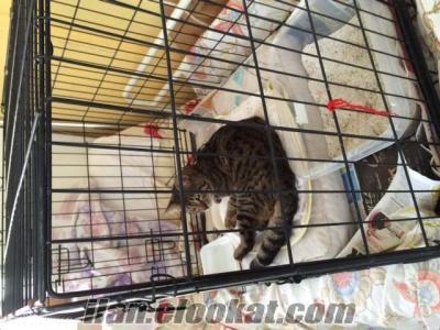 ücretsizAnkara dan 6 aylık tekir kedi