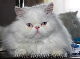 ankarada satılık safkan beyaz iran kedisi