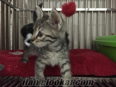 ücretsiz sevimli yavru kedi