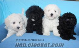 satılık poodle yavrular k9 avrupa da