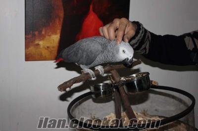 Satılık konuşan papağan