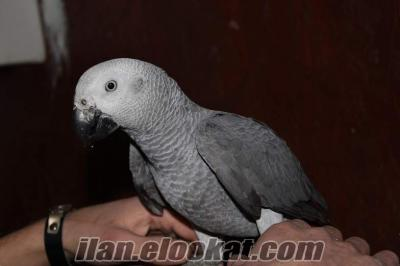 toptan jako papaganı